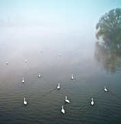 In The Fog Photo Posters - Swans In Log On River Neckar Poster by Ulrich Mueller