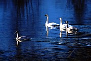 Pond In Park Prints - Swans in the Lake Print by Don Mann