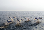 Flying Swan Photos - Swans by Mats Silvan