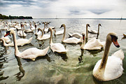 Swans... Framed Prints - Swans Framed Print by Okan YILMAZ