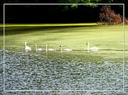 New York Art - Swans on a pond with added watercolor effect by Rose Santuci-Sofranko