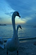 Long Island New York - Swans on the beach by Laurence Oliver
