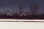Flying Birds Prints - Swans over the Marsh Print by Sharon  Talson