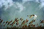 Swans... Prints - Swans Rule the Marshlands Print by Reflective Moments  Photography and Digital Art Images