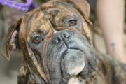 Brindle Prints - Sweet Boy Print by Angie Wingerd