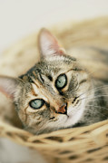 Basket Head Framed Prints - Sweet Cat Framed Print by Dhmig Photography