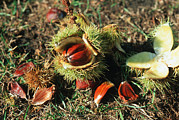 Husks Prints - Sweet Chestnuts (castanea Sativa) Print by Georgette Douwma