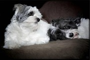 Dogs Digital Art Acrylic Prints - Sweet couple Acrylic Print by Gun Legler