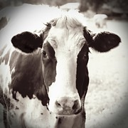 Cow Photo Posters - Sweet Cow Face Poster by Carol Groenen