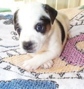 Black And White Jack Russell Terrier Puppies Photos - Sweet Diamond Duke by Linda Parker