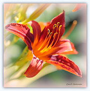 Daylily Framed Prints - Sweet Dreams Daylily Framed Print by Carol Groenen