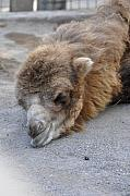 Camel Photos - Sweet Dreams by Jan Amiss Photography