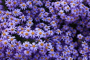 Bedroom Art Prints - Sweet Dreams of Purple Daisies Print by Carol Groenen