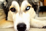 Husky Posters - Sweet Face Poster by Gina Widdows
