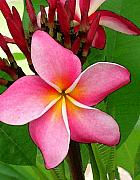 Plumeria Photos - Sweet Fragrance by James Temple