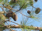 Pine Cones Photo Originals - Sweet Georgia Pine by Debra Payne