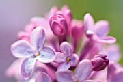 Sweet Lilac Print by Mitch Shindelbower