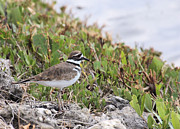 Killdeer Prints - Sweet Little Killdeer Print by Rosalie Scanlon