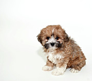 Puppy Metal Prints - Sweet Little Lhasa Puppy Metal Print by StockImage