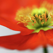 Bob Daalder Art - Sweet little Poppy by Bob Daalder