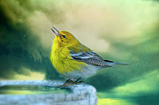 Yellow Warbler Posters - Sweet Little Warbler Poster by Bonnie Barry