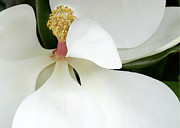 Florida Flower Posters - Sweet Magnolia Flower Poster by Sabrina L Ryan