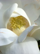 White Magnolias Posters - Sweet Magnolia Poster by Karen Wiles