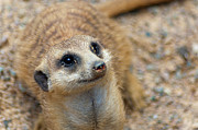 Meerkat Photography Acrylic Prints - Sweet Meerkat Face Acrylic Print by Carolyn Marshall