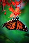 Flutter Art - Sweet Nectar by Mandy Shupp