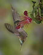Hummingbird Photos - Sweet Nectar by Susan Candelario