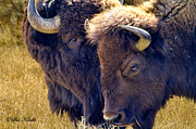 American Bison Photo Originals - Sweet Nothings by Sue Karski