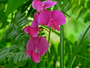 Deep Pink Prints - Sweet Pea Flowers Print by Debra     Vatalaro