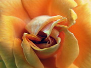 Flower Photographers Art - Sweet Seduction by Karen Wiles