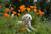 Maltese Dogs Photos - Sweet Sunshine by Lynn Bauer