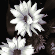 White Daisies Photos - Sweet Surprise by Bonnie Bruno