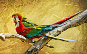 Macaws Prints - Sweet Sweet Love Print by Lois Bryan