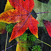 Red Leaves Acrylic Prints - Sweetgum Acrylic Print by Bonnie Bruno