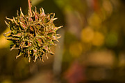 Spiney Posters - Sweetgum Seed Pod Poster by Heather Applegate