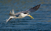 Tern Originals - Swift Tern Dive by Basie Van Zyl