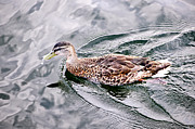 Birds Prints - Swimming duck Print by Elena Elisseeva