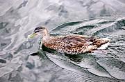 Swimming Duck Print by Elena Elisseeva