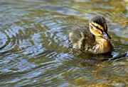 Swimming Animal Framed Prints - Swimming Duckling Framed Print by © Esther Moliné