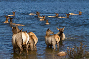 Elk Photographs Photo Prints - Swimming Elk ll Print by James Bo Insogna