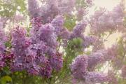 Lilac Prints - Swimming in a sea of lilacs Print by Cindy Garber Iverson