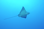 Undersea.  Framed Prints - Swimming Spotted Eagle rays Framed Print by Sami Sarkis