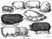 1876 Framed Prints - Swine, 1876 Framed Print by Granger