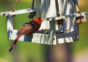 Male Cardinal Framed Prints - Swingin Cardinal Framed Print by Bill Tiepelman