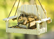 Feeder Framed Prints - Swingin Squirrel Robber Framed Print by Bill Tiepelman