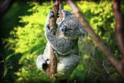 Koala Photo Prints - Swinging Print by Douglas Barnard