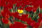 Woodburn Posters - Swirling View Of Blooming Tulip Flowers Poster by Natural Selection Craig Tuttle